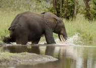 African Forest Elephant….