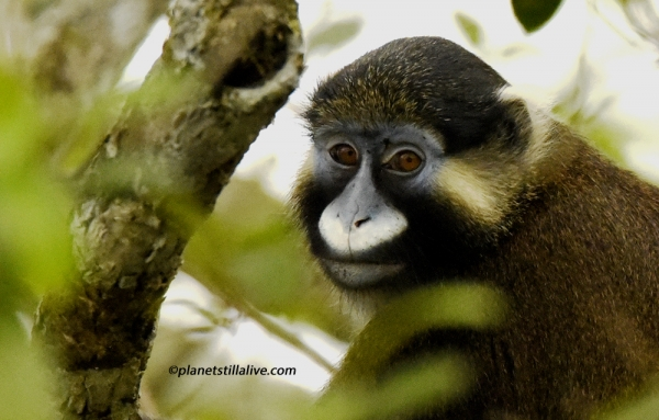 Gabon – Moustached Monkey