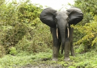 Forest Elephant – female