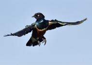 Tanzania Ndutu – Superb Starling