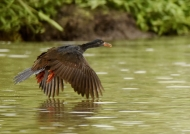 African Finfoot-male breeding