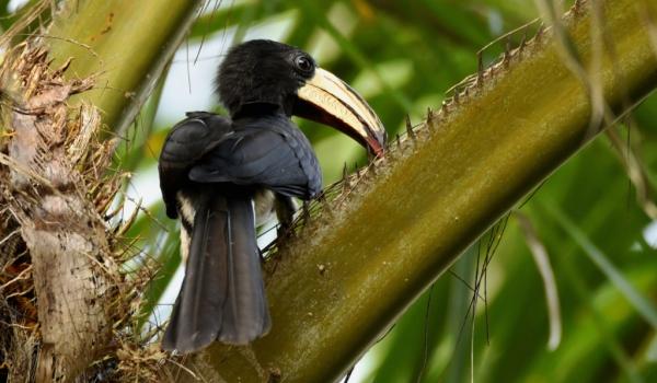 African Pied Hornbill