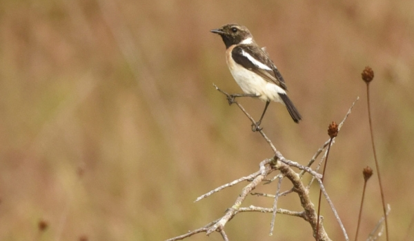 African Stonechat – juv. male