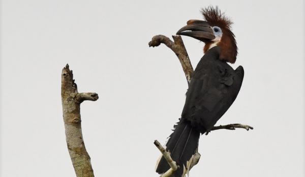 Black-casqued Hornbill – f.
