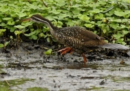 African Finfoot – female