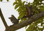 Giant Kingfishers – couple….
