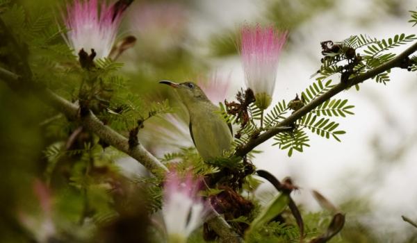 ..among Pink Silk Tree flowers