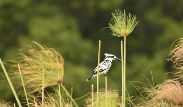 Pied Kingfisher ready to fly….