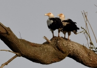 Palm-nut Vultures