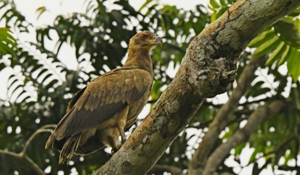 Palm-nut Vulture – juvenile