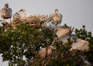 Pink-Backed Pelicans & chicks