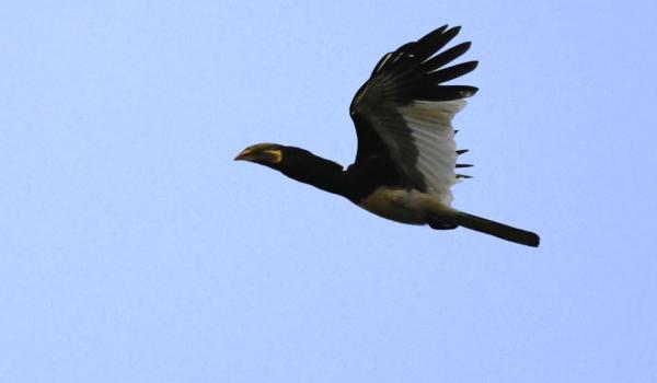 Piping Hornbill