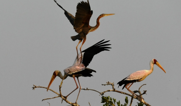 Y. bill. Storks & Purple Heron