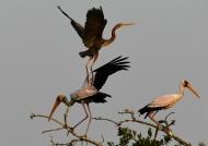 Y. bill. Storks & Purple Heron