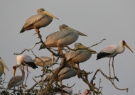 Pink-backed Pelicans and…