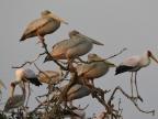 Storks & Pelicans