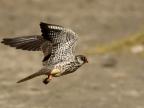 Amur Falcon – female