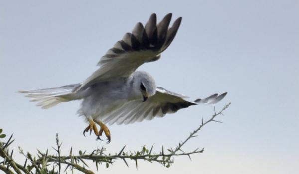 Black-winged Kites