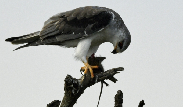 Blk-winged Kite with a mouse