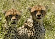 Young Cheetahs curious