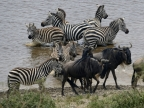 Plains Zebras in the water