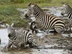 Plains Zebras frightened…