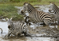 Plains Zebras frightened….