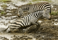 Plains Zebras also named….