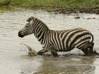 Plains Zebra also named…