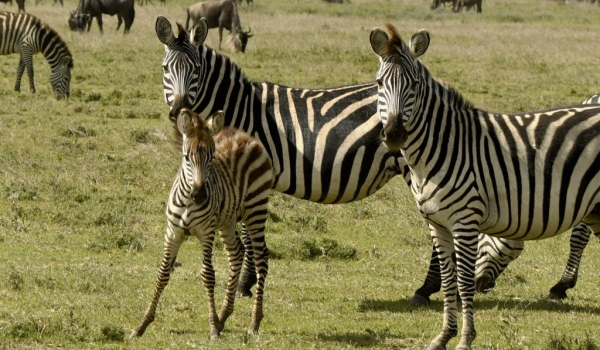Zebras couple and foal