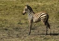Plains Zebra – Foal