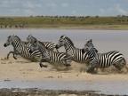 Herd of Plains Zebras…