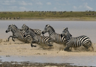 Herd of Plains Zebras….
