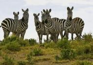 Plains Zebras like guardians