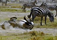Plains Zebra enjoys to roll….