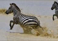 Plains Zebra in water