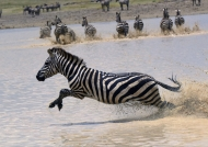 Plains Zebras in water