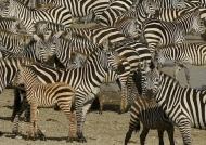 Plains Zebra meeting