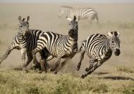 Plains Zebras in trouble!