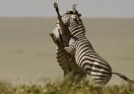 Plains Zebras fighting