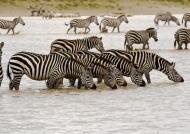 Plains Zebras in a lake