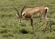 Grant's Gazelle – male