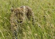 Female Leopard hunting