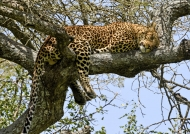 leopard sleeping in a tree – m