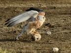 Lesser Kestrel – juv. male