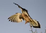 Lesser Kestrel  – male