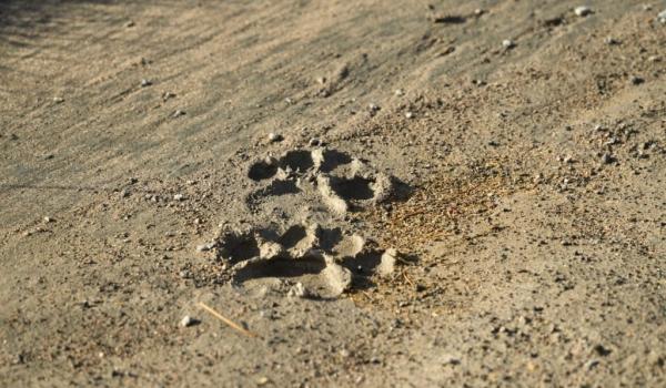 Lion's footprint