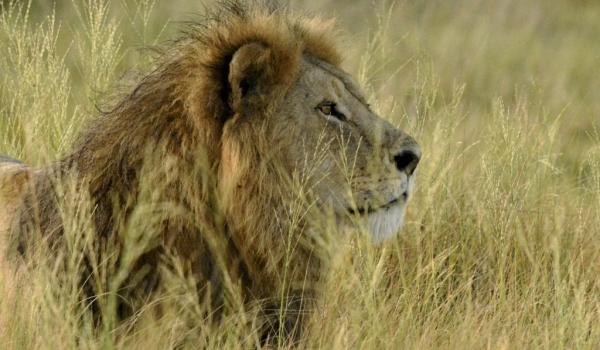 Lion's portrait