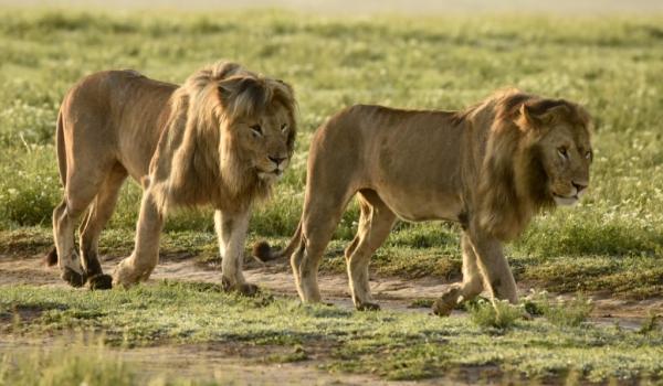 Lions m. crossing the plain