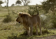 Lion m. marking his territory